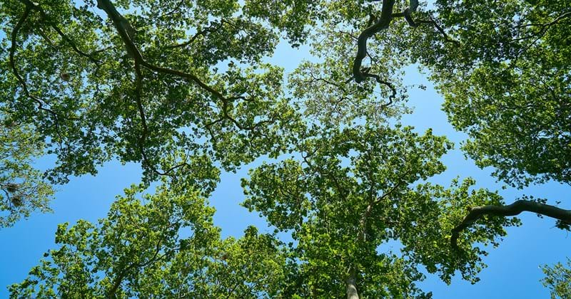 Urban canopy trees and blue sky