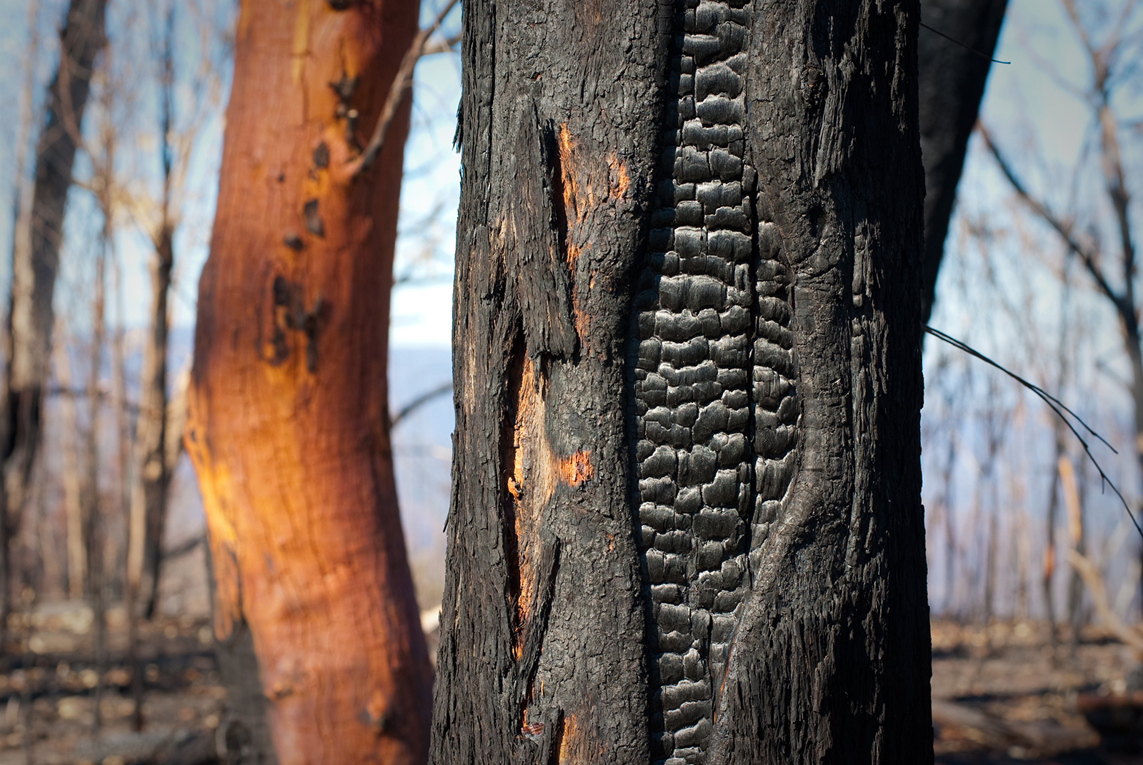 Partially burnt tree saved from bushfire