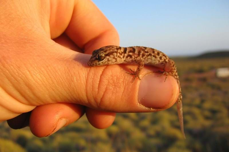 Hand holding Gecko on Barrrow Island WA