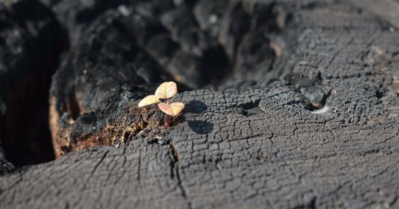 Small plant growth in burnt tree stump showing aftermath bushfire in forest near Taree NSW. Photo taken by Morgan Bloodworth, RPS Senior Project Manager.
